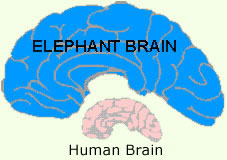 Elephant brain compared to human brain