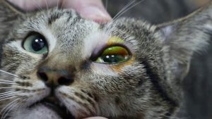 cat with conjunctivitis