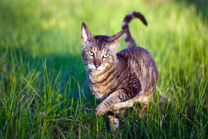 A Cornish Rex Cat with a beautiful tabby coat walking through the grass