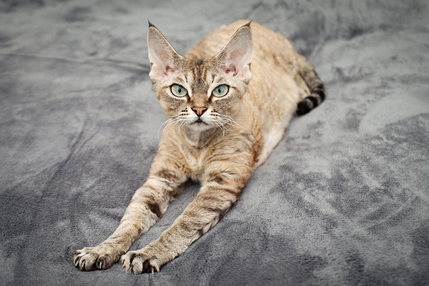 A Devon Rex cat showing off its wonderful pointed ear tips