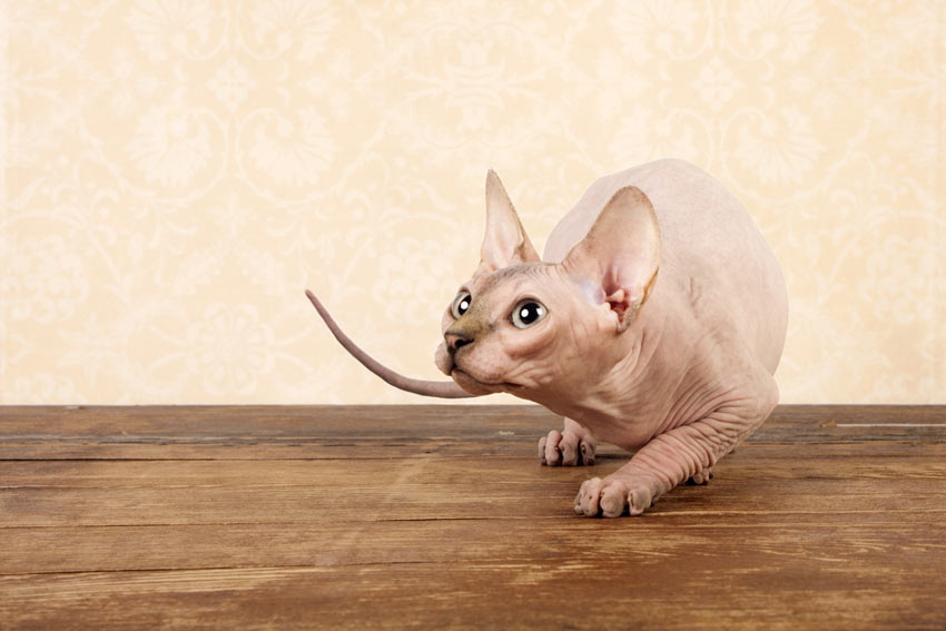 A hairless Sphynx Cat with a hypoallergenic coat