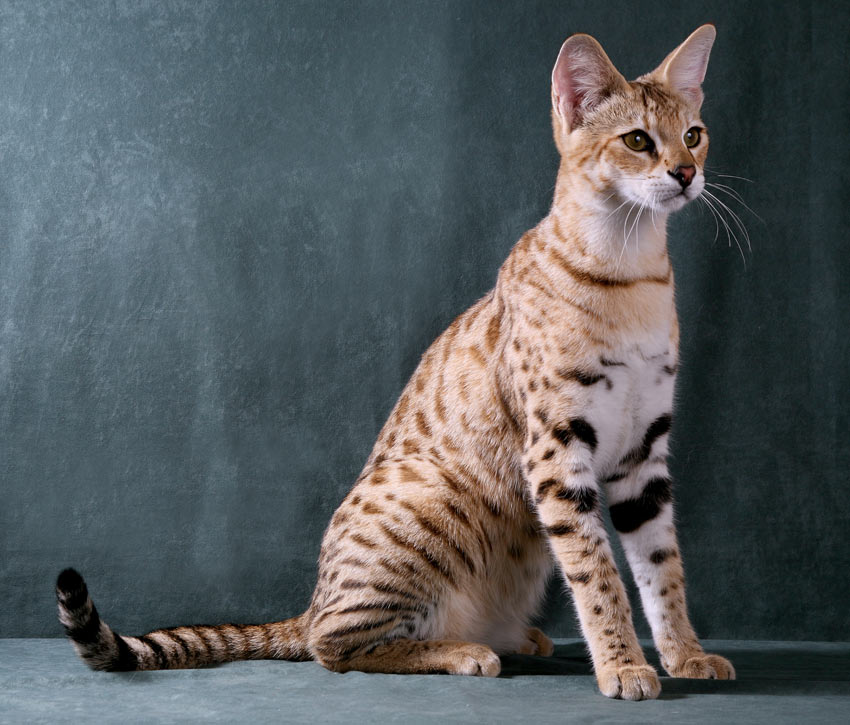 A highly active and intelligent Savannah Cat