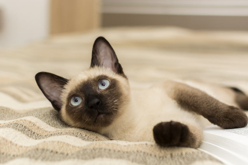 A lovely siamese cat with beautiful blue eyes