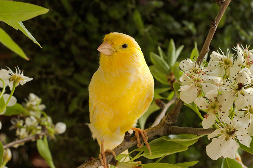 Yellow singing Canary