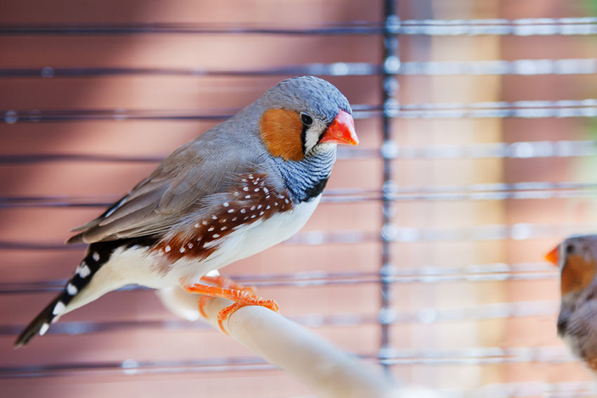 Zebra Finches in cage