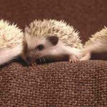 african-pygmy-hedgehogs5